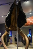 Out of the Depths - The Blue Whale Story - Mouth with Baleen, ROM Toronto