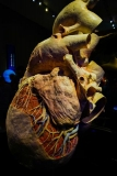 Out of the Depths - The Blue Whale Story - Plasticized Heart, ROM Toronto