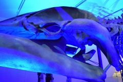 Out of the Depths - The Blue Whale Story - Whale Eye, ROM Toronto